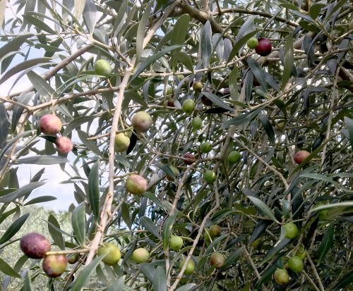 八女で栽培のオリーブの木