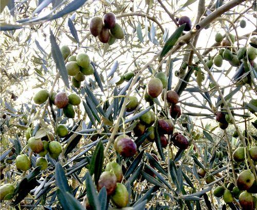 八女オリーブの木